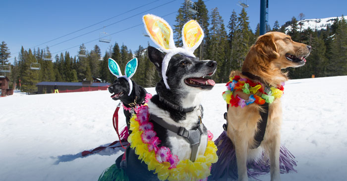 Donner Summit Avalanche dogs dressed in easter costumes